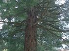 "German Monastery ""St.Ivan Rilski"" - The centuries old sequoia"